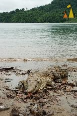 Crocodile on the Beach, Isla Coiba, reptile, animal, American crocodile, Crocodylus acutus , Tito