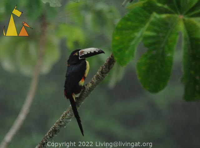 Curious bird, Cannopy Tower, Panama, bird, Guinness, Collared Aracari, Pteroglossus torquatus