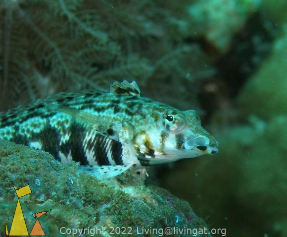 Cylindrical sandperch, Philippines, underwater, fish, Cylindrical sandperch, Parapercis cylindrica