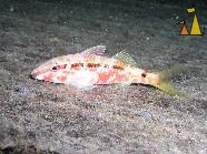 Dash-and-Dot, Red Sea, Sudan, Underwater, Dash-and-Dot Goatfish, Parupeneus barberinus, Umbria