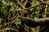 Dead Wood Motmot, Canopy Tower, Panama, bird, dark forest, Electron platyrhynchu