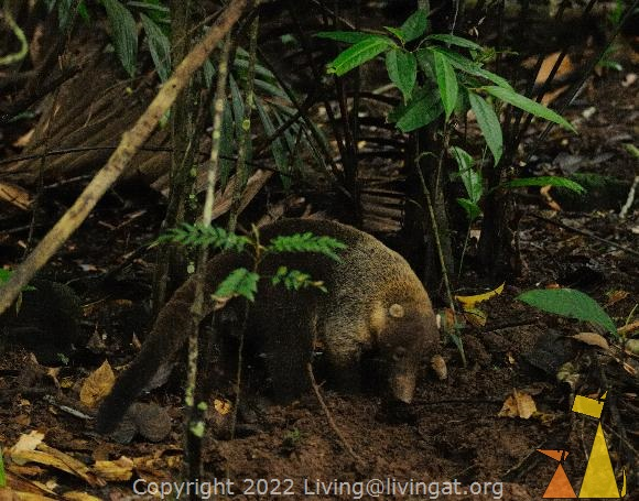Digging for food, Canopy Tower, Panama, mammal, White-nosed coati, Nasua narica