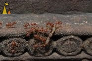 Digging into a worm, Banteay Samre, Siem Reap, Cambodia, insect, ant, Red weaver ant, Oecophylla smaragdina, worm, stone carvings
