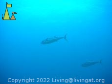 Dogtooth tuna, Burma, underwater, fish, Gymnosarda unicolor, Dogtooth tuna