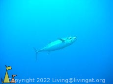 Dogtooth tuna, Maldives, underwater, fish, Dogtooth tuna, Gymnosarda unicolor