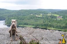 Doris Breathing Heavily, Landet, Sweden, dog, Canis lupus familiaris, Doris, Weimaraner, The Grey Ghost, hill top