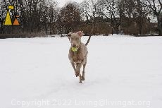 Doris Playing Fetch, Djurgården Stockholm, Sweden, dog, Canis lupus familiaris, Doris, Weimaraner, The Grey Ghost, running
