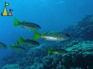 Dory snappers, Red Sea, Egypt, underwater, fish, Dory snapper, Lutjanus fulviflamma
