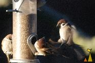 Double parking, Kristianstad, Sweden, bird, flying, crash, Tree sparrow, Passer montanus