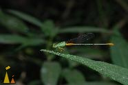 Dragon fly, Ak Yum, Angkor, Cambodia, insect, dragon fly, macro
