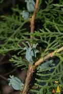 Eastern Arborvitae, Madrid, Spain, plant, tree, cone, Thuja occidentalis, Eastern Arborvitae