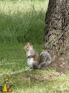 Eastern Gray, London, UK, Eastern Gray Squirrel, Sciurus carolinensis
