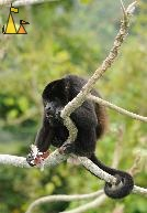 Eating Hawler, Canopy Tower, Panama, mammal, Alouatta palliata, Mantled Howler, monkey, tail, balls, tree