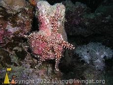 Egyptian seastar, Red Sea, Sudan, sea star, Egyptian seastar, Gomophia egyptiaca