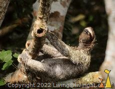 Enjoying Life, Canopy Tower, Panama, mammal, Bradypus variegatus, Brown-throated Sloth, tree