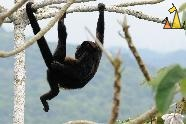 Enjoying the View, Canopy Tower, Panama, mammal, Alouatta palliata, Mantled Howler, monkey, scratching arse