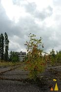 European Rowan, Pripyat, Ukraine, Hammer and sickle, Soviet Union, Comunist Party, tree, European Rowan, Sorbus aucuparia