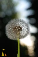 Evening Dandelion, Landet, Sweden, flower, plant, weed, dandelion, Taraxacum spp, ball, seed, evening