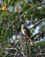 Evil looking, Pattaya, Thailand, bird, tree, Yellow-vented bulbul, Pycnonotus goiavier
