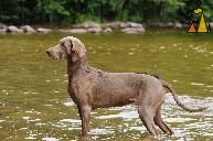 Exhibition dog, Landet, Sweden, dog, Canis lupus familiaris, Doris, Weimaraner, The Grey Ghost, water, Miss Li