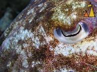 Eye of Cuttlefish, Burma, underwater, Macro, eye, cuttlefish, Myanmar