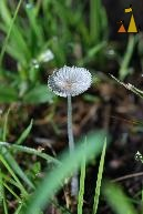 Fairy Parasol, Angarn, Stockholm, Sweden, mushroom, Fairy Parasol, Coprinus plicatilis