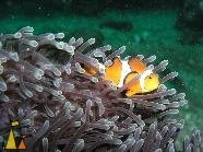 False clown, Burma, False clown anemonefish, Amphiprion ocellaris, Myanmar
