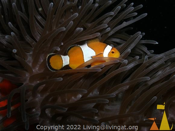 False clown, Burma, False clown anemonefish, Amphiprion ocellaris, Burma, Myanmar