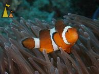 False clown, Similan, Thailand, underwater, fish, False clown anemonefish, Amphiprion ocellaris