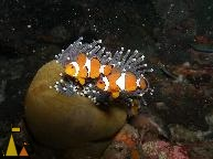 False clowns, Black rock, Burma, underwater, fish, False clown anemonefish, Amphiprion ocellaris
