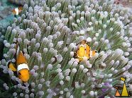 False clowns, Racha Yai, Thailand, underwater, fish, anemone, False clown anemonefish, Amphiprion ocellaris