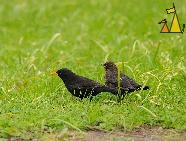 Father and Son, Skeppsholmen, Stockholm, Sweden, bird, Common blackbird, Turdus merula
