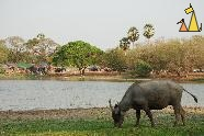 Feeding Buffalo, Angkor, Cambodia, mammal, cattle, Water buffalo, Bubalus bubalis, pond, grass, feeding