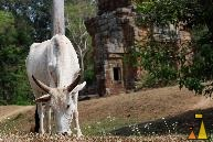 Feeding Zebu, Elephant Therass, Angkor, Cambodia, mammal, cattle, domesticated, Bos taurus indicus, Zebu