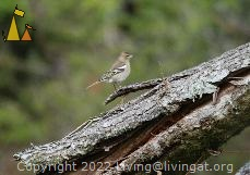 Female Chaffinch, Landet, Sweden, bird, female, Chaffinch, Fringilla coelebs