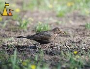 Female Common Blackbird, Djurgården, Stockholm, Sweden, bird, female, Common Blackbird, Turdus merula