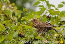 Female Common Blackbird, Frankfurt, Germany, bird, bush, plant, Cornus sanguinea, Turdus merula