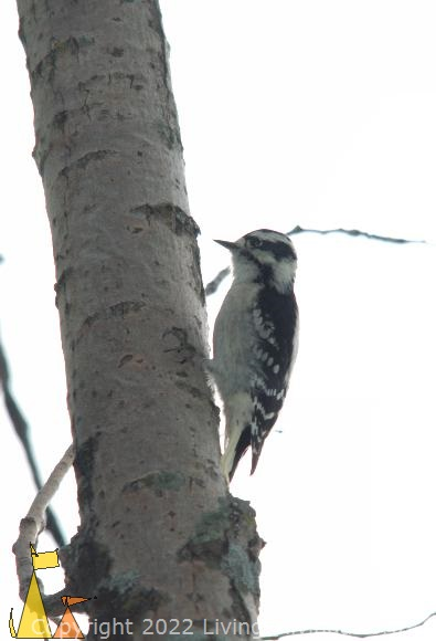 Female Downy Woodpecker, Black Dog reserve, Minneapolis, USA, bird, female Downy Woodpecker, Downy Woodpecker, Picoides pubescens