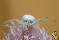 Female Golden crab spider, Landet, Sweden, macro, spider, Chives flower, Golden crab spider, Misumena vatia