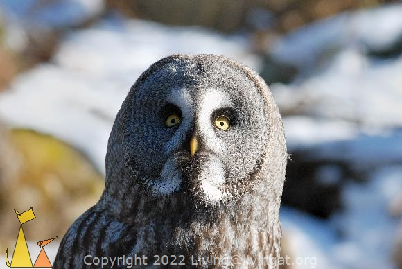 Female Grey owl, Skansen, Stockholm, Sweden, bird, portrait, Great Grey Owl, Strix nebulosa, captive