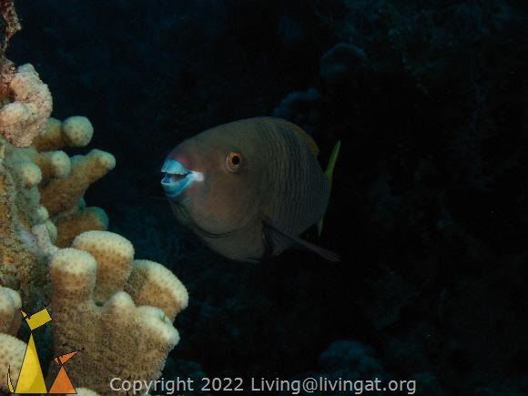 Female Rusty, Red Sea, Egypt, underwater, fish, portrait, female, Rusty Parrotfish, Scarus ferrugineus