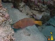 Female Rusty parrott, Red Sea, Egypt, underwater, fish, Rusty parrotfish, Scarus ferrugineus