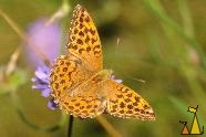 Female Silver-washed Fritillary, Landet, Sweden, flower, below, Knautia arvensis, insect, butterfly, Argynnis paphia