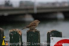 Female house sparrow, Strömmen, Stockholm, Sweden, bird, House sparrow, Passer domesticus