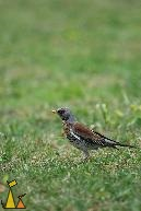 Fieldfare, Stockholm, Sweden, bird, Fieldfare, Turdus pilaris