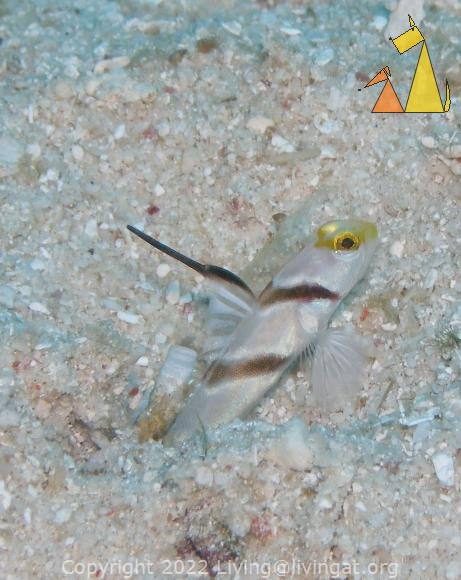 Filamented-finned, Philippines, underwater, fish, Filamented-finned prawn-goby, Stonogobiops nematodes