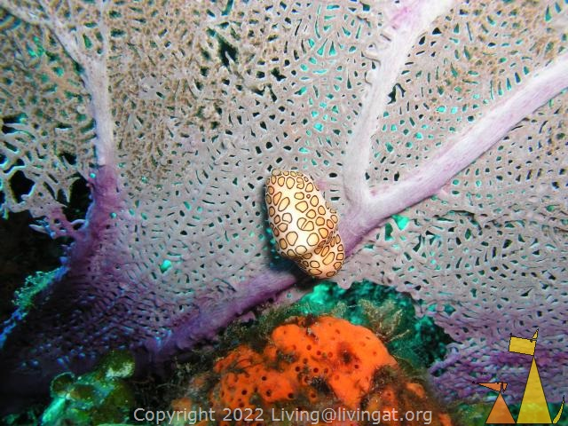 Flamingo tongue, Dominican Republic, underwater, nudi, Flamingo tongue cowrie, Cyphoma gibbosum