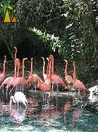 Flamingos, Santo Domingo, Dominican Republic, Flamingos, bird, American flamingo, Phoenicopterus ruber