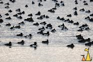 Flock of Tufted ducks, Åhus, Sweden, bird, birds, flock, Tufted duck, Aythya fuligula