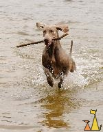 Floppy ears, Landet, Sweden, dog, Canis lupus familiaris, Doris, Weimaraner, The Grey Ghost, water, running, stick
